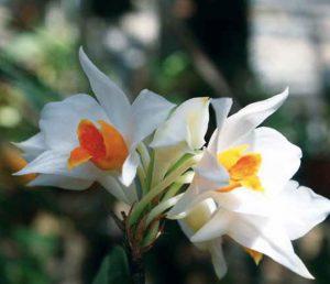 Dendrobium daklakense